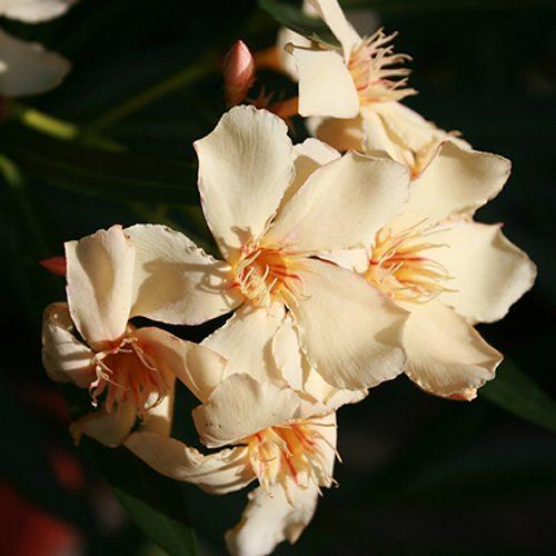Kwiaty z Floresco 13